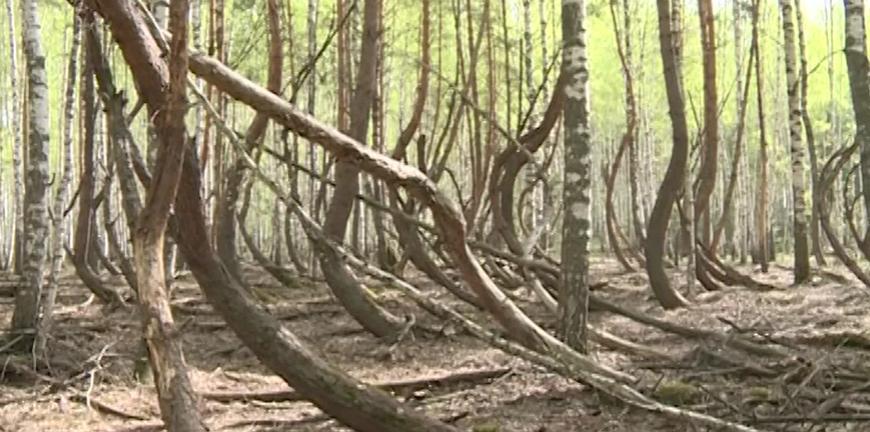 Памятником природы решили сделать «Пьяный лес» в Рязанской области