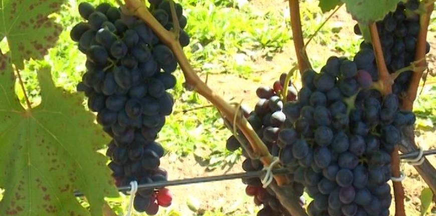 Рязанские дачники собирают урожай винограда