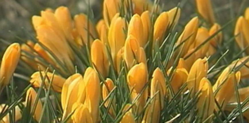 Цветы крокус рязань